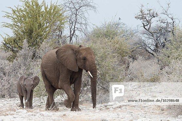Afrikanische Elefanten (Loxodonta africana)  Kuh mit Jungtier  Etosha Nationalpark  Namibia  Afrika