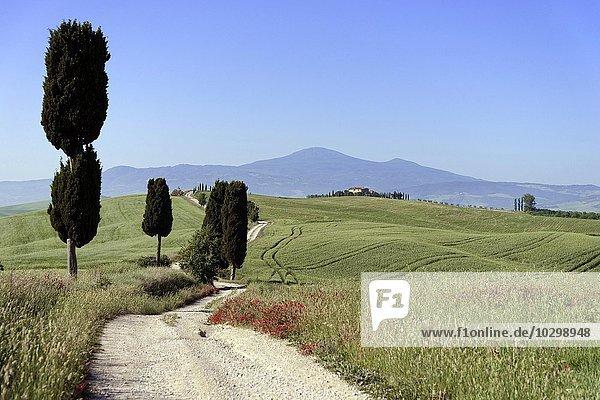 Zypressen (Cupressus) und Felder bei Terrapille  Pienza  Val d'Orcia  Toskana  Italien  Europa