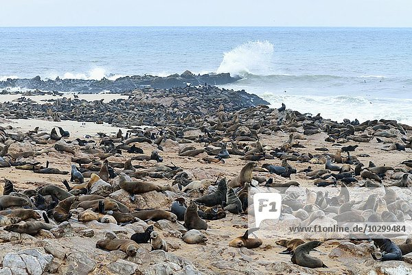 Kolonie Südafrikanische Seebären (Arctocephalus pusillus)  Ohrenrobben (Otariidae) am Strand  Cape Cross  Kreuzkap  Namibia  Afrika