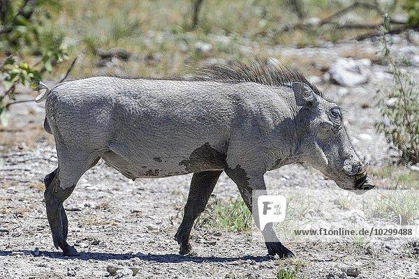 Warzenschwein (Phacochoerus africanus)  Etosha  Namibia  Afrika