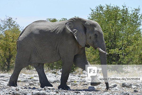 Afrikanischer Elefant (Loxodonta africana)  Etosha  Namibia  Afrika