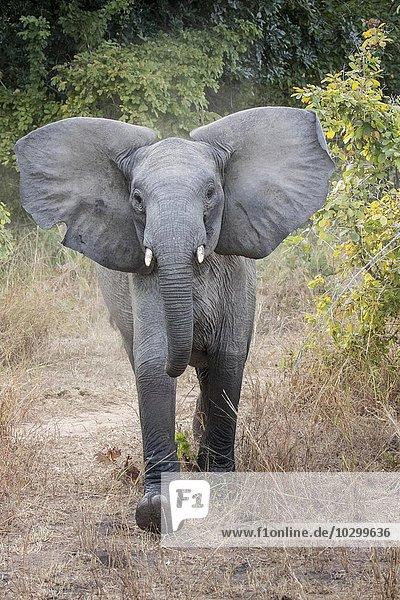 Halbwüchsiger Afrikanischer Elefant (Loxodonta africana) zeigt Drohgebärden  Südluangwa-Nationalpark  Sambia  Afrika