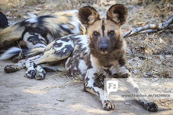 Im Schatten ruhender Afrikanischer Wildhund (Lycaon pictus)  Südluangwa National Park  South Luangwa National Park  Sambia  Afrika