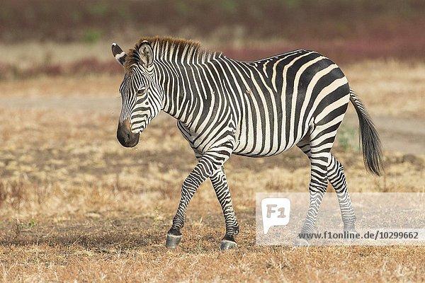 Crawshay's Zebra (Equus quagga crawshaii)  im Grasland  Südluangwa National Park  South Luangwa National Park  Sambia  Afrika