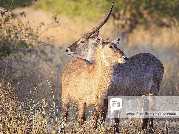 Ellipsen Wasserböcke (Kobus ellipsiprymnus)  Paar in der Abendsonne  Südluangwa National Park  South Luangwa National Park  Sambia  Afrika