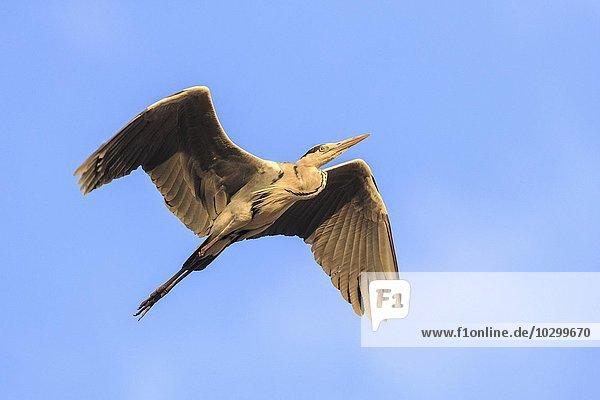 Graureiher (Ardea cinerea)  im Flug  Südluangwa National Park  South Luangwa National Park  Sambia  Afrika
