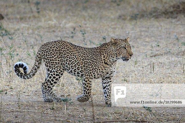 Leopard (Panthera pardus)  auf der Pirsch  Südluangwa National Park  South Luangwa National Park  Sambia  Afrika