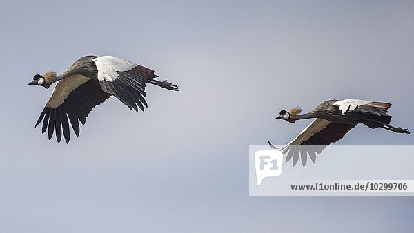 Kronenkraniche (Balearica pavonina)  im Flug  Paar  Südluangwa National Park  South Luangwa National Park  Sambia  Afrika
