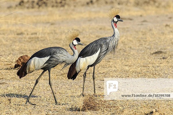 Kronenkraniche (Balearica pavonina)  Paar im Grasland  Südluangwa National Park  South Luangwa National Park  Sambia  Afrika