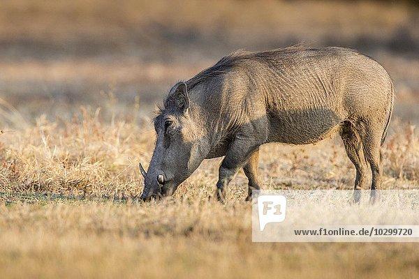 Warzenschwein beim Fressen (Phacochoerus africanus)  Südluangwa National Park  South Luangwa National Park  Sambia  Afrika