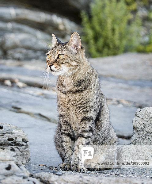 Getigerte Katze sitzt auf Stein  Cinque Terre  Italien  Europa