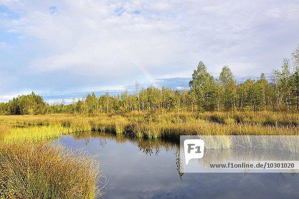 Regenbogen über herbstlich verfärbtes Moor mit Teich und Teichbinsen (Schoenoplectus lacustris)  bei Nicklheim  Oberbayern  Bayern  Deutschland  Europa