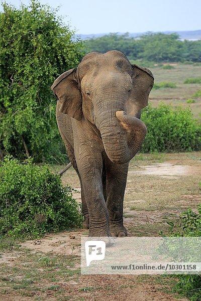 Asiatischer Elefant  (Elephas maximus maximus)  Sri Lanka Elefant  männlich  Bundala National Park  Sri Lanka  Asien