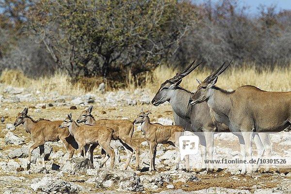 Eland  auch Elandantilope (Taurotragus oryx)  Weibchen  rechts  Männchen und vier Kälber  auf dem Weg zu einem Wasserloch  Etosha-Nationalpark  Namibia  Afrika