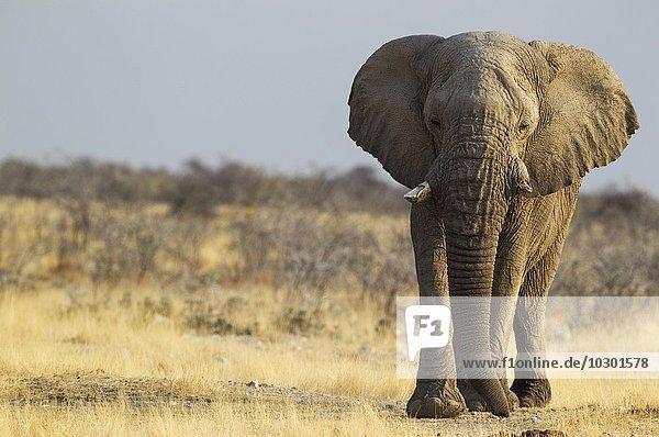 Afrikanischer Elefant (Loxodonta africana)  alter Elefantenbulle unterwegs zum Wasserloch  Etosha-Nationalpark  Namibia  Afrika