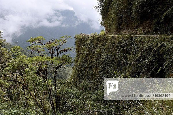 Scarp on Death Road  rich subtropical vegetation  Camino de la Muerte  Yungas  road between La Paz and Coroico  Bolivia  South America