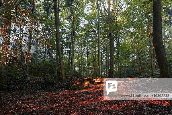 Herbstwald im Morgenlicht  Nationalpark Sächsische Schweiz  Sachsen  Deutschland  Europa