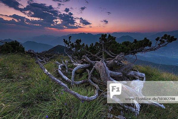 Bergkiefer (Pinus mugo) bei Sonnenaufgang mit Bergen  Estergebirge  Ettal  Oberbayern  Bayern  Deutschland  Europa