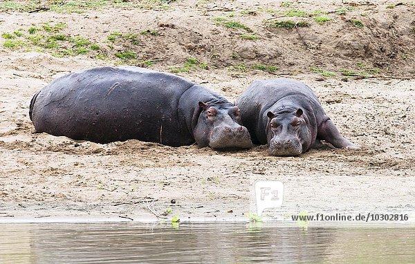 Flusspferd (Hippopotamus amphibius)  am Ufer des Flusses  Kilombero Fluss  Tansania  Afrika