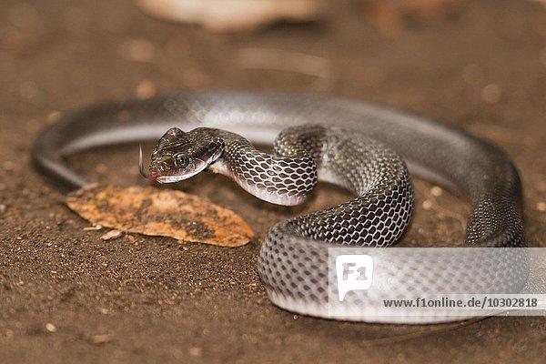 Weißlippen-Schlange (Crotaphopeltis hotamboeia)  Kilombero-Tal  Tansania  Afrika