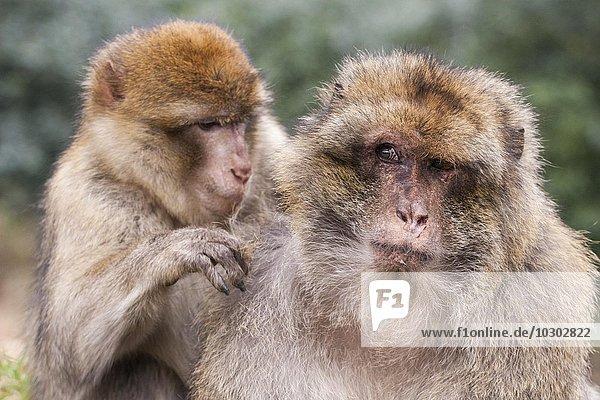 Berberaffen (Macaca sylvanus)  bei der Fellpflege  Monkey Forest  Trentham  Großbritannien  Europa