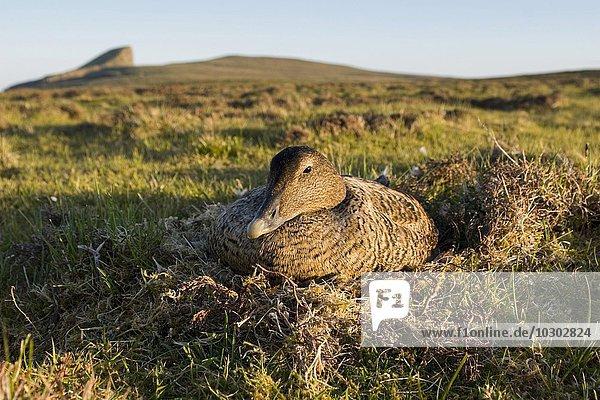Eiderente (Somateria mollissima)  Weibchen sitzt auf Nest  Fair Isle  Shetlandinseln  Schottland  Großbritannien  Europa