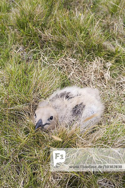 Große Raubmöwe  Skua (Stercorarius skua)   Küken im Gras  Fair Isle  Shetlandinseln  Schottland  Großbritannien  Europa