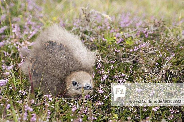 Schmarotzerraubmöwe (Stercorarius parasiticus) chick  Fair Isle  Shetlandinseln  Schottland  Großbritanien