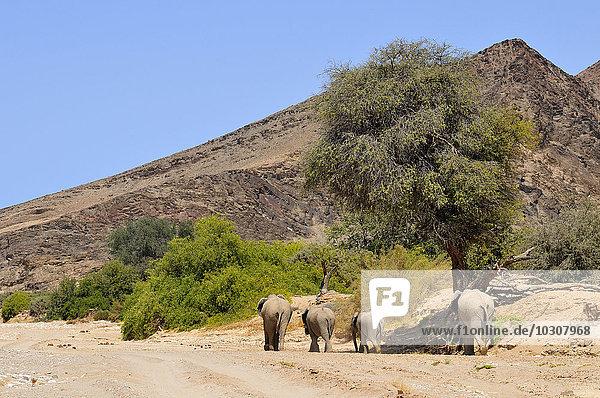 Afrika  Namibia  Kaokoland  vier afrikanische Elefanten  Loxodonta africana