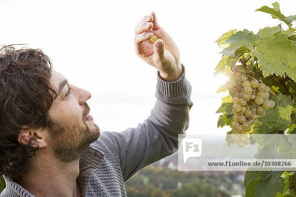 Germany  Bavaria  Volkach  winegrower testing grapes Germany, Bavaria, Volkach, winegrower testing grapes