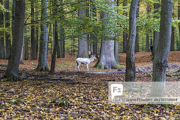 Germany  Schleswig-Holstein  Kiel  white stag in a game preserve