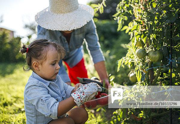 Seniorin und ihre kleine Enkelin bei der Tomatenernte im Garten