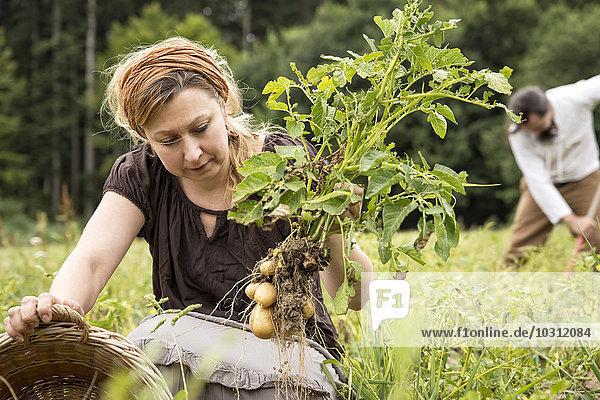 Frau erntet Kartoffeln von Hand