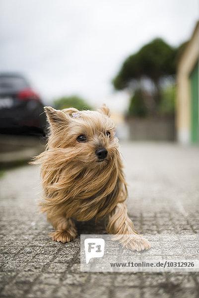 Portrait von Yorkshire Terrier mit blasenden Haaren