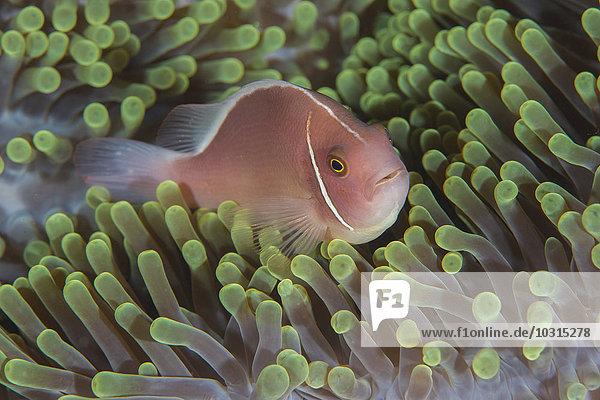 Malaysia  Orangenskunk-Anemonenfisch  Amphiprion sandaracinos