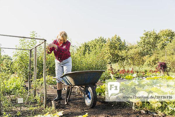 Seniorin Gartenarbeit im Gemüsebeet