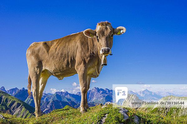 Deutschland  Allgäu  Junges Braunvieh auf einer Alm bei Oberstdorf Deutschland, Allgäu, Junges Braunvieh auf einer Alm bei Oberstdorf