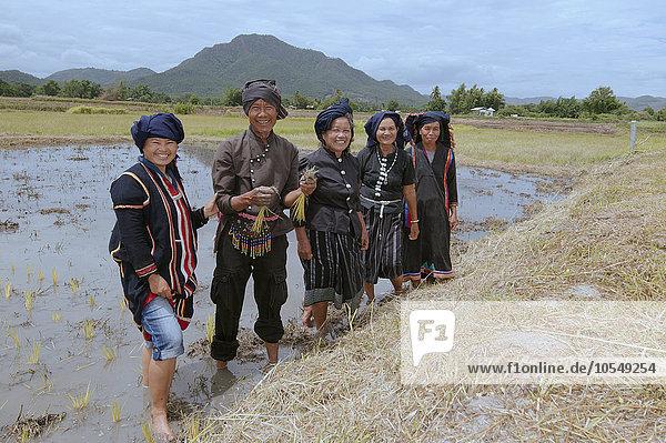 Tai Dam-Bauern beim Pflanzen von Reissetzlingen  Loei Provinz  Thailand  Asien