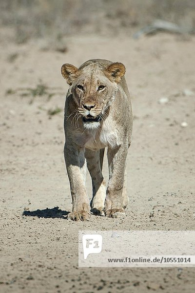 Lioness (Panthera leo) walking  Kgalagadi Transfrontier Park  Northern Cape Province  South Africa  Africa