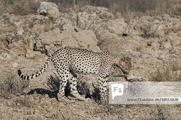 Gepard (Acinonyx jubatus) frisst am Riss einer Antilope  Kgalagadi-Transfrontier-Nationalpark  Nordkap Provinz  Südafrika