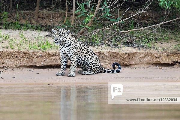 Jaguar (Panthera onca) am Ufer des Rio Cuiaba sitzend  Pantanal  Mato Grosso  Brasilien  Südamerika