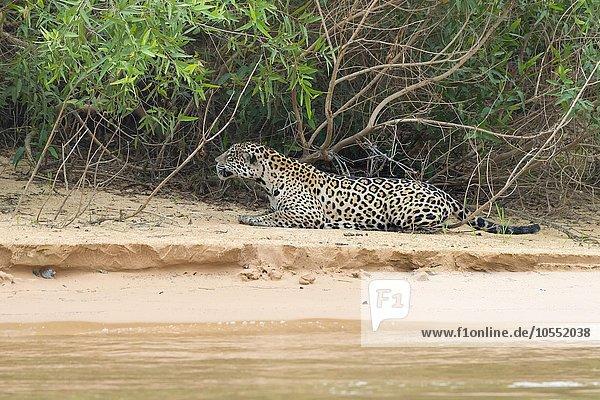 Jaguar (Panthera onca)  auf der Pirsch am Rio Cuiaba  Pantanal  Mato Grosso  Brasilien  Südamerika