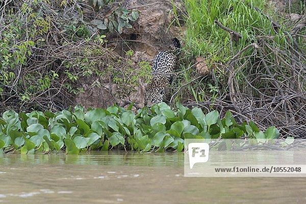 Jaguar (Panthera onca) am Ufer des Rio Cuiaba  Pantanal  Mato Grosso  Brasilien  Südamerika