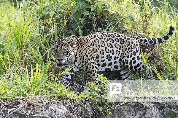 Jaguar (Panthera onca)  unterwegs am Ufer des Rio Cuiaba  Pantanal  Mato Grosso  Brasilien  Südamerika