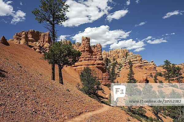 Gesteinsformationen durch Erosion  Trekkingpfad und Kiefern (Pinus sp.)  Red Canyon  Utah  USA  Nordamerika