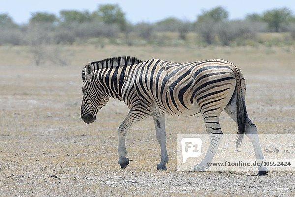 Burchell-Zebra (Equus quagga burchellii) in der Steppe  Etosha Nationalpark  Namibia  Afrika