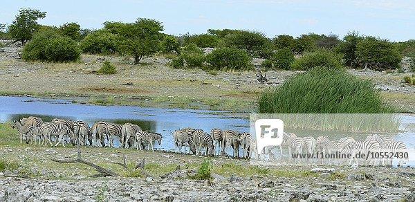 Burchell-Zebras (Equus quagga burchellii)  Herde an der Wasserstelle  Etosha Nationalpark  Namibia  Afrika