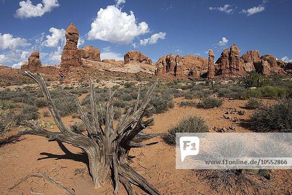 Rock Pinnacles  vorne abgestorbene Grannen-Kiefer (Pinus aristata)  Bristlecone Pine  Arches National Park  Utah  USA  Nordamerika