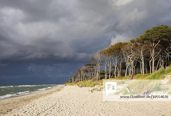 Dark clouds over the western beach and Darßer forest by the Baltic Sea  Born at Fischland-Zingst  Western Pomerania Lagoon Area National Park  Mecklenburg-Western Pomerania  Germany  Europe