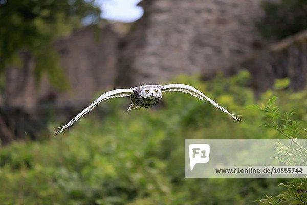 Schneeeule (Bubo scandiacus)  adult fliegend  Kasselburg  Eifel  Deutschland  Europa